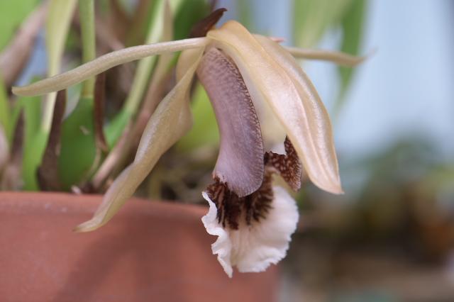 Coelogyne speciosa-02