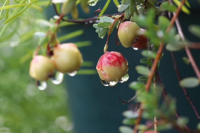 Cranberry-01