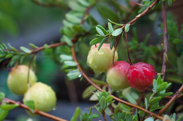 Cranberry-03
