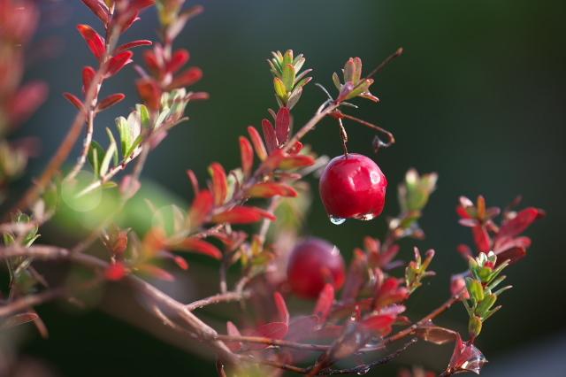Cranberryの紅葉-01