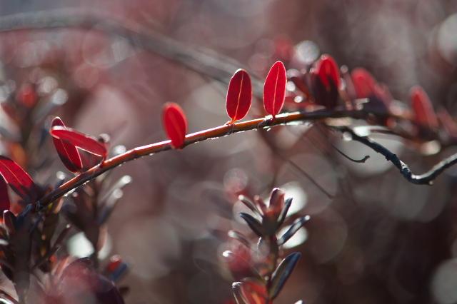 まだまだ魅せるクランベリーの紅葉-02