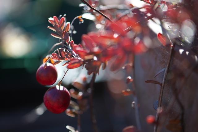 まだまだ魅せるクランベリーの紅葉-03