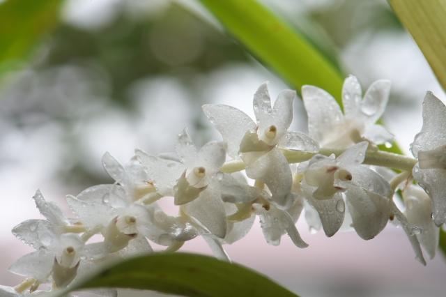 Eria hyacinthoides エリア・ヒヤシンソイデス-03