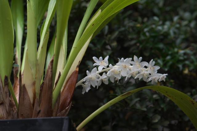 Eria hyacinthoides エリア・ヒヤシンソイデス-01