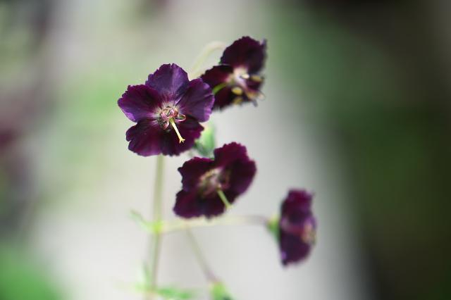 Geranium Phaeum-02