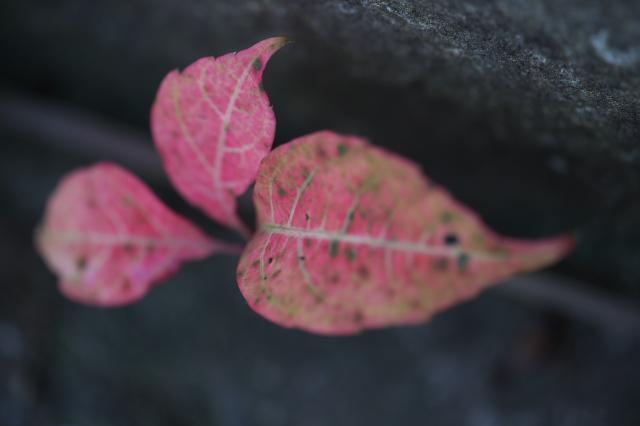 ヘンリーヅタの紅葉-04