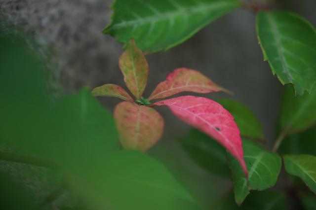 ヘンリーヅタの紅葉-03