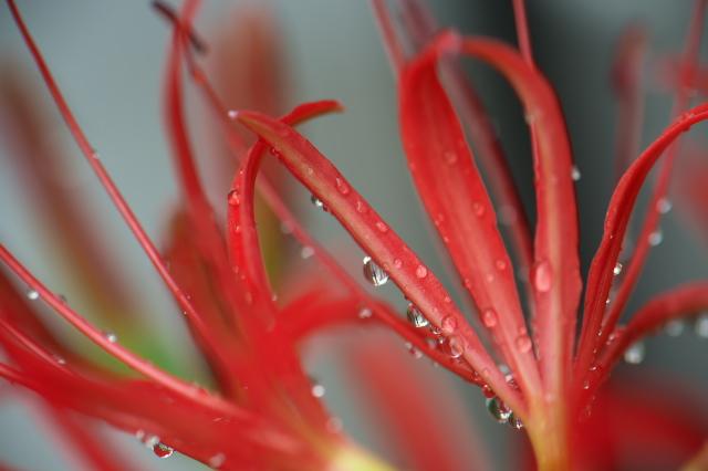 彼岸花と雨の滴-03