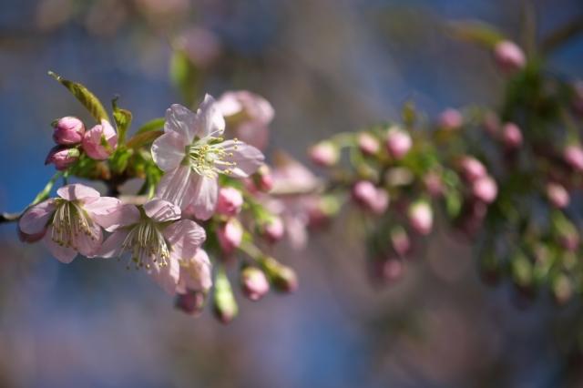 ヒマラヤ桜-01