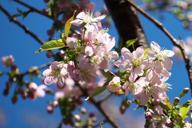ヒマラヤ桜-02
