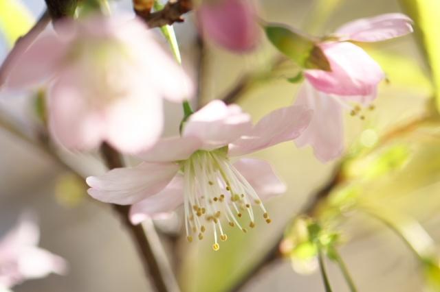 ヒマラヤ桜-03
