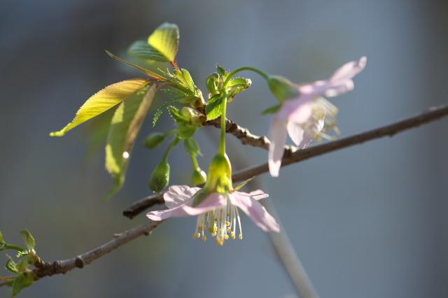 ヒマラヤ桜-05