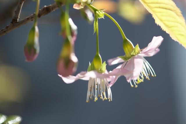 ヒマラヤ桜-06