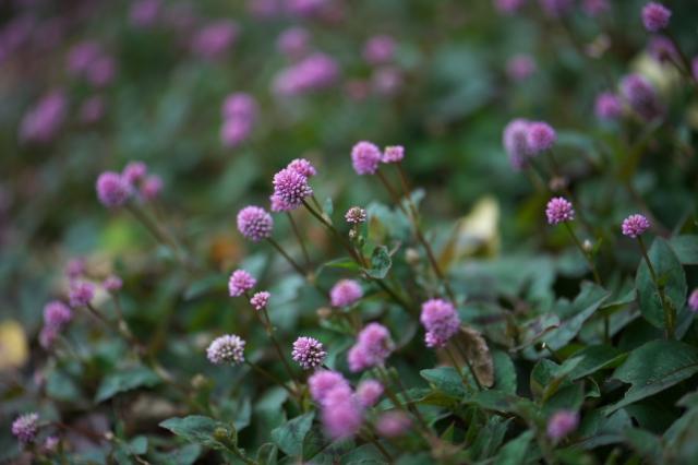 ヒメツルソバの花-01