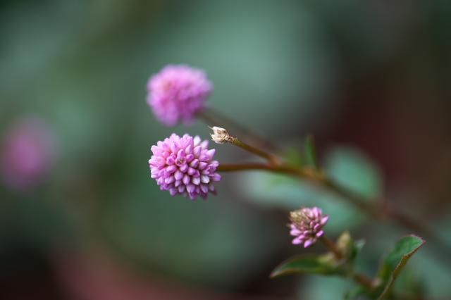 ヒメツルソバの花-02