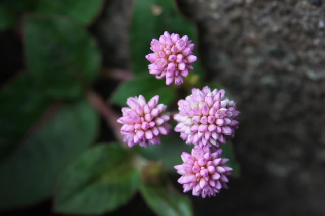 ヒメツルソバの花-03