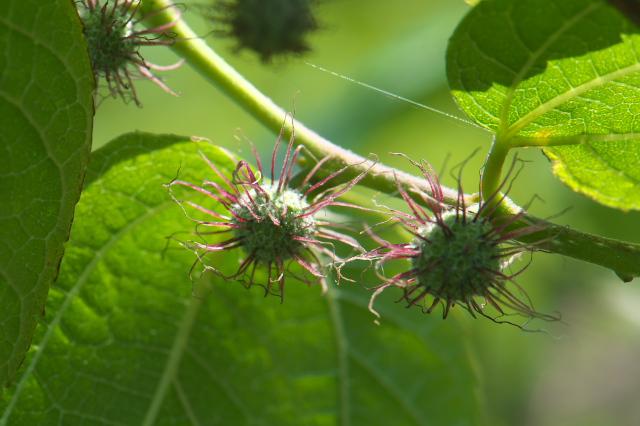 ヒメコウゾの雌花