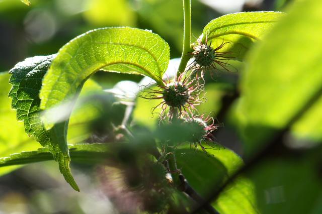 ヒメコウゾの雌花-01