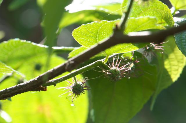 ヒメコウゾの雌花-02