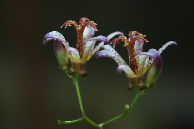 ホトトギスの花-02