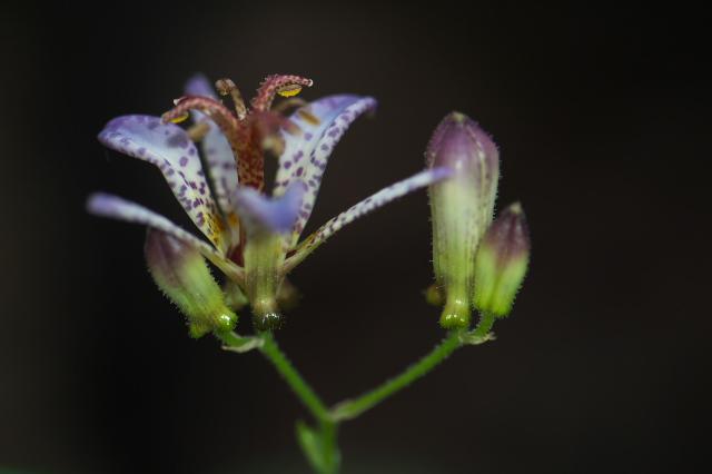 ホトトギスの花-03