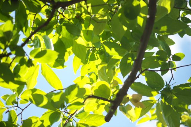 富有柿の若葉-02