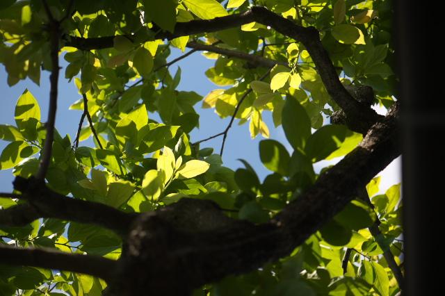 富有柿の若葉