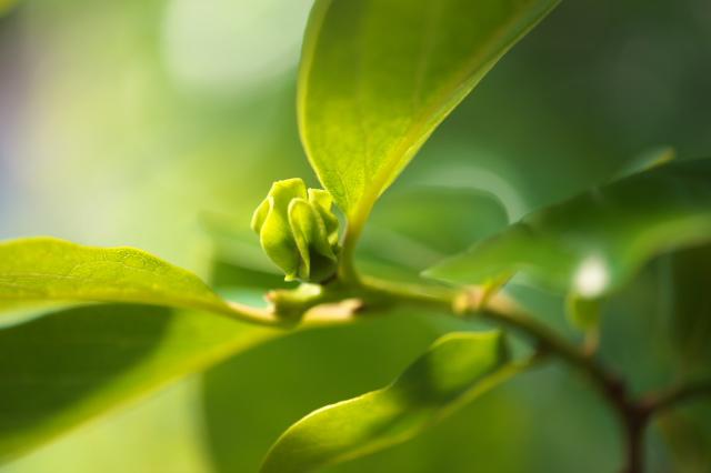 富有柿の若葉-03