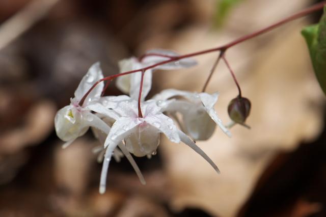 イカリソウ-白花