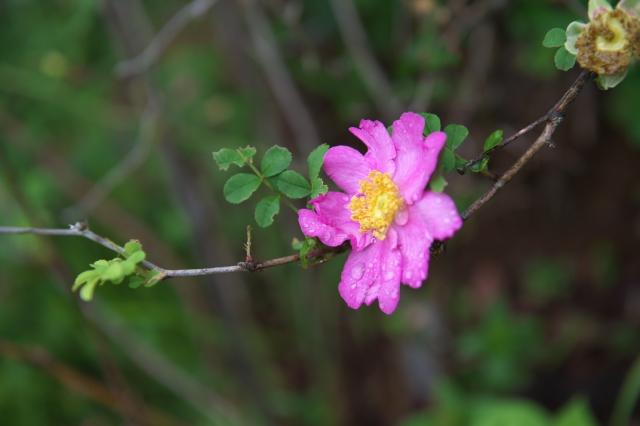 十六夜バラ(一重 Rosa.roxburghii )-01