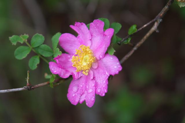 十六夜バラ(一重 Rosa.roxburghii )-02