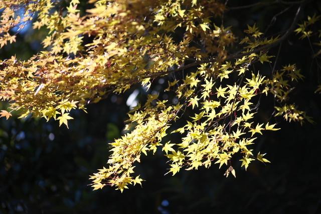 楓(・・・もみじ)の黄葉-04