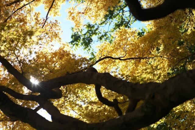 楓(・・・もみじ)の黄葉-01