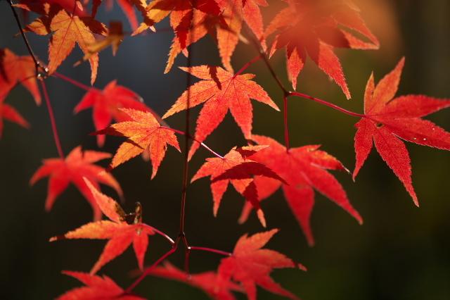 楓の紅葉-04