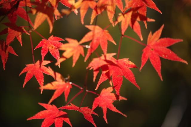 楓の紅葉-01