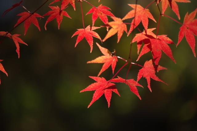 楓の紅葉-03