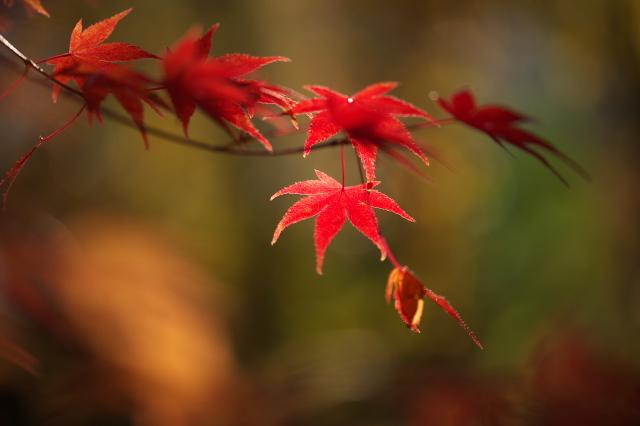 楓の紅葉-02
