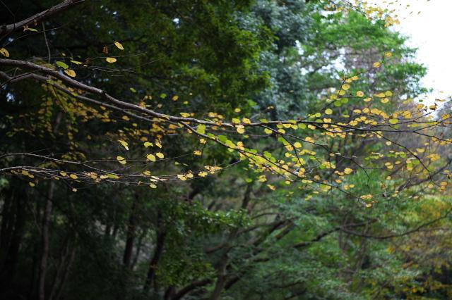 カツラの黄葉-03