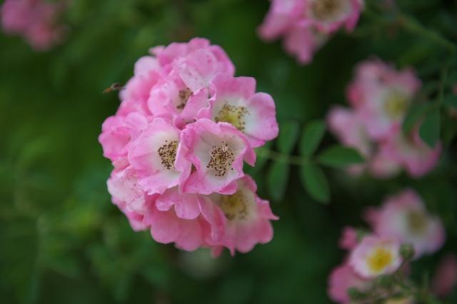 Kew Rambler-02