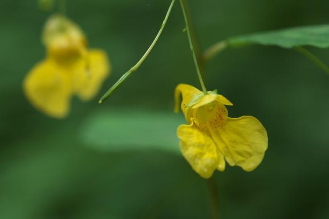 黄花ツリフネソウ-04