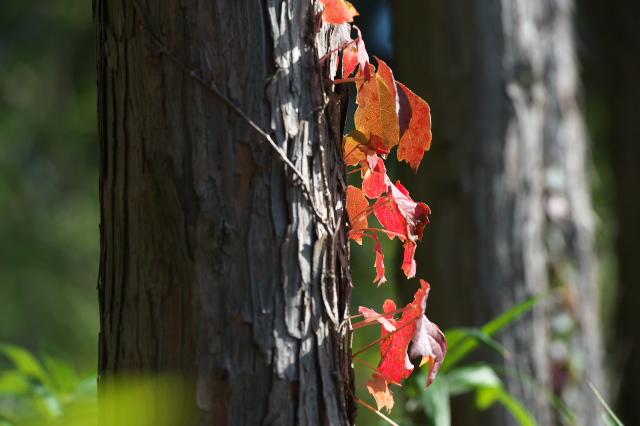 キヅタの紅葉-01