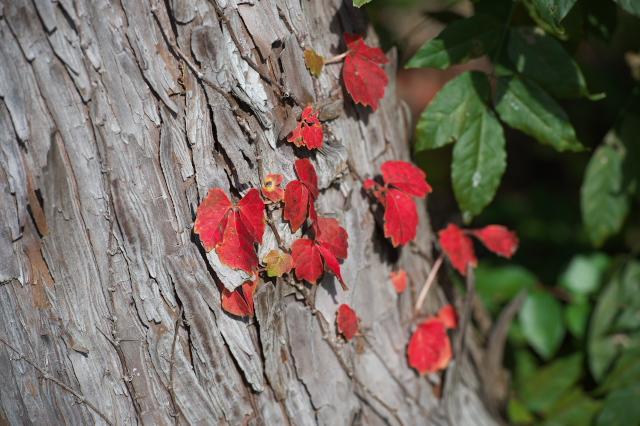 キヅタの紅葉-04
