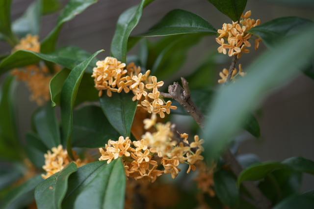 キンモクセイの花-02