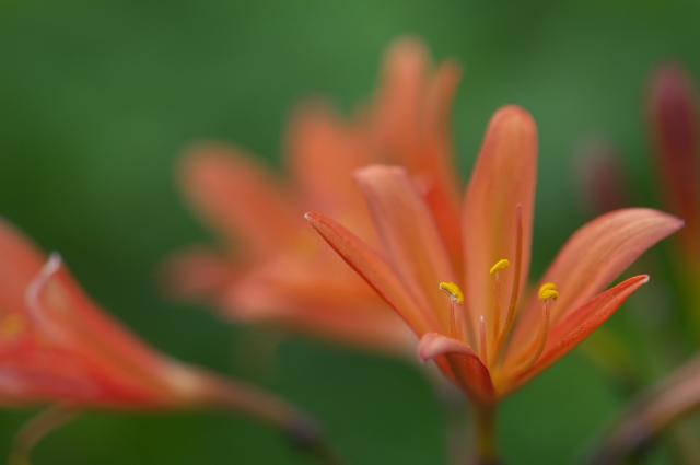 キツネノカミソリ Lycoris sanguinea -02