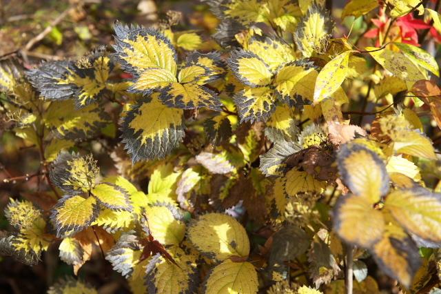 晩秋のコアジサイの葉-03