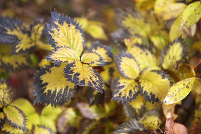 晩秋のコアジサイの葉-01
