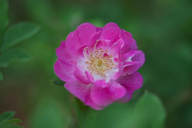Rosa.konan