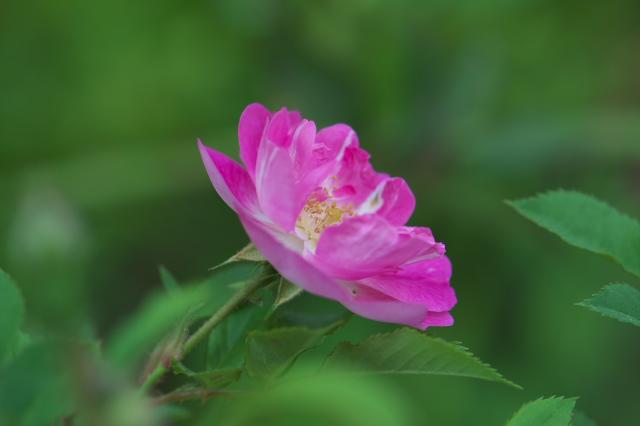 Rosa.konan-01
