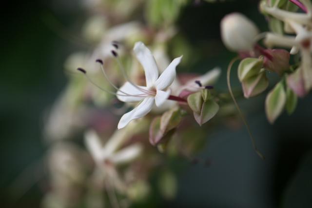 クサギの花-06