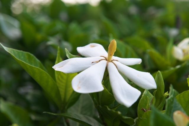 一重のクチナシの花